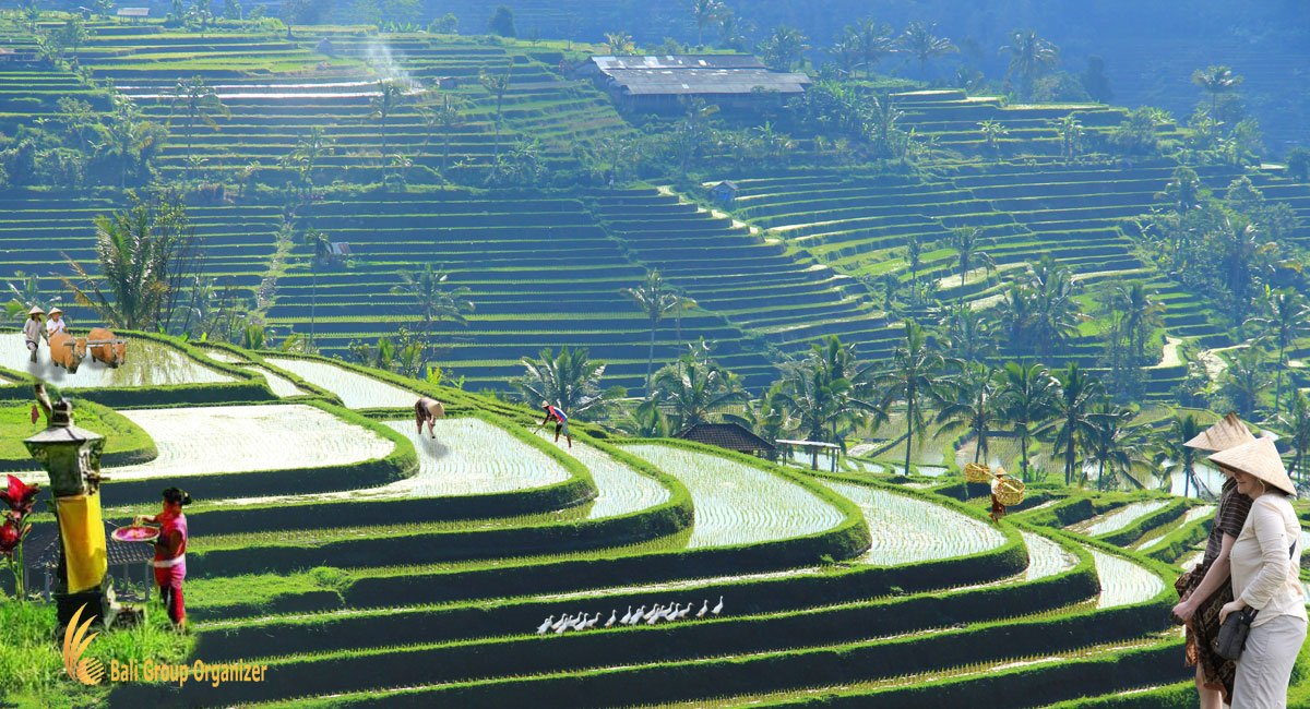 bali, farm, rice, field, terrace, programs, bali farm, bali farm activities, learn agriculture
