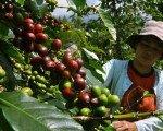 bali, coffee, plantation