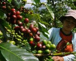 bali, coffee, plantation