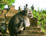 monkeys, uluwatu, hindu, temple